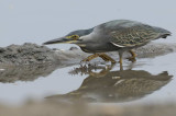 Striated Heron  Gambia