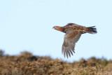 Red Grouse Long Mynd Shropshire