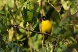 Black-crested Bulbul   Goa