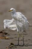 Cattle Egret Goa