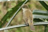 Clamorous Warbler