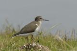 Common Sandpiper  Goa