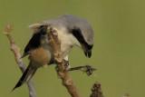 Long Tailed Shrike  Goa