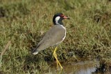 Red-wattled Lapwing    Goa