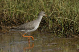 Redshank   Goa