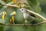 Plain Flowerpecker