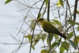 Black Naped Oriole  Kerala