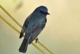 Nilgiri Flycatcher  Kerala