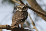 Spotted Owlet  Kerala