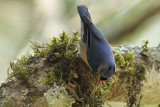 Velvet Fronted Nuthatch  Kerala