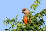 African Orange Bellied Parrot