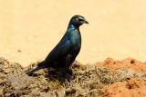 Black Bellied Starling