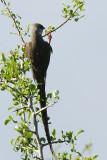 Blue Naped Mousebird