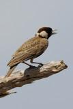 Chestnut Headed Sparrow-Lark