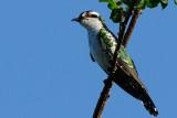 Diederik Cuckoo