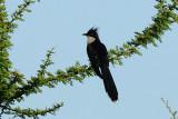 Levailliant Cuckoo