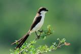 Long Tailed Fiscal Shrike
