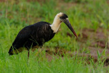 Wooly Necked Stork  Tsavo East NP
