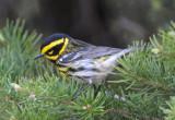 Townsend's Warbler 0711-15j  Bethel Ridge