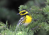 Townsend's Warbler 0711-17j  Bethel Ridge