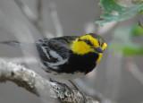 Golden-cheeked Warbler  0412-6j  Bandera County TX