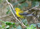 Prothonotary Warbler  0412-1j  High Island, TX