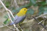 Prothonotary Warbler  0412-2j  High Island, TX