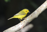 Wilson's Warbler Female 0412-3j  High Island, TX