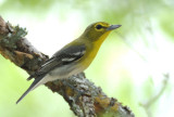 Yellow-throated Vireo  0412-2j  Bandera County, TX