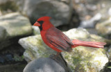 Northern Cardinal 0412-2j  Santa Ana NWR,TX