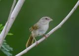 Olive Sparrow  0412-1j  Santa Ana NWR, TX