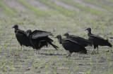 Black Vulture  0412-1j  Kingsville, TX
