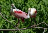 Roseate Spoonbills  0412-2j  High Island, TX