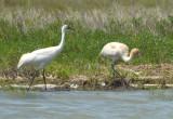 Whooping Crane Adult nad Juvenile  0412-2j  Aransas NWR, TX