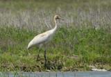 Whooping Crane Juvenile  0412-3j  Aransas NWR, TX