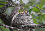 Western Wood Pewee Nest 0612-10j  Oak Creek