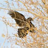 Raven landing in tree
