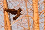 Raven landing in trees
