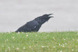 Raven calling in the rain