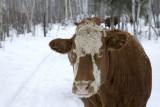 Cow following sleigh