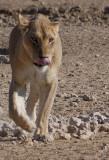 Kgalagadi 2011 - Lions of the Kgalagadi