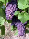 311 Grappe de Pinot Noir
