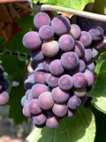 313 Grappe de Pinot Noir détail