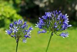 Agapanthes dans le jardin à Quimiac - MK3_4389_DXO.jpg