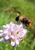 449 Lac de Lispach - Insecte