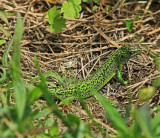 Lézard vert au Port de Lerat - MK3_4523_DXO.jpg