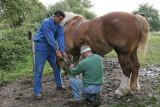 Maréchal-ferrand au travail sur un cheval d'attelage de Bréca - IMG_0296_DXO.jpg
