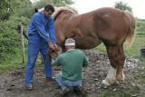 Maréchal-ferrand au travail sur un cheval d'attelage de Bréca - IMG_0297_DXO.jpg