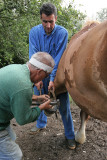 Maréchal-ferrand au travail sur un cheval d'attelage de Bréca - IMG_0303_DXO.jpg