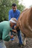 Maréchal-ferrand au travail sur un cheval d'attelage de Bréca - IMG_0304_DXO.jpg